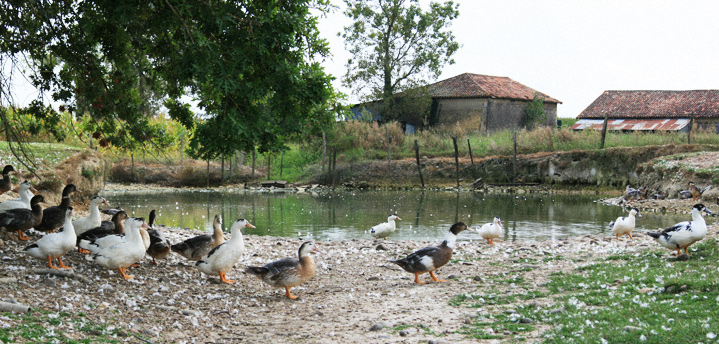Des canards mulards élevés au grand air